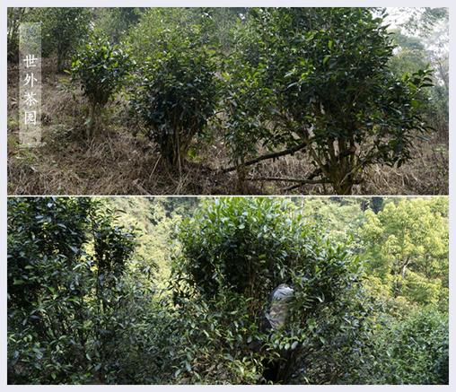 普洱生茶 净含量: 357克 保质期: 长期保存 原料: 易武正山世外茶园